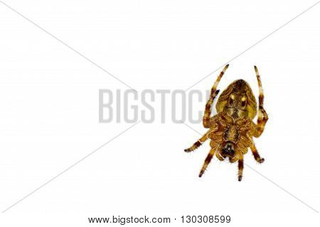 Isolated Spider Hanging On White Background