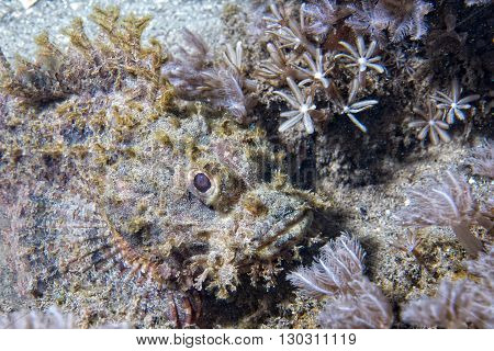 Scorpion Fish Portrait