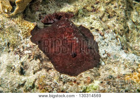 Pleurobranchus testudinarius nudibranch underwater portrait macro detail