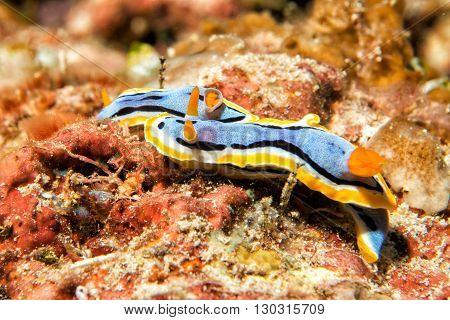 Chromodoris nudibranch underwater portrait macro in Sulawesi