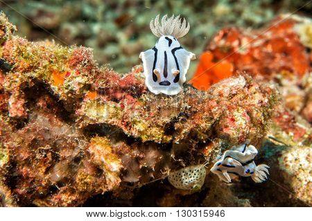 Chromodoris Wilani Nudibranch While Diving Indonesia