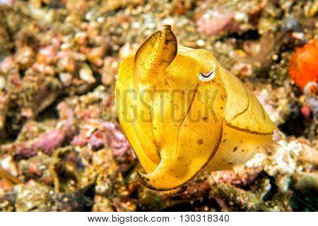 Squid Cuttlefish On Black Lava Sand