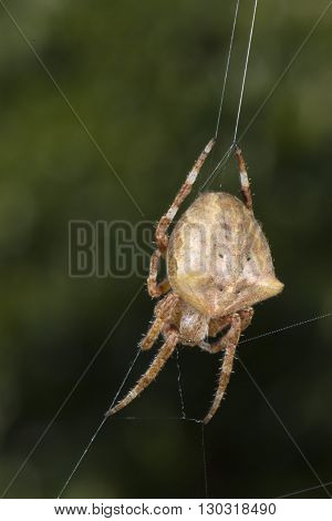 A Spider Hanging From Net