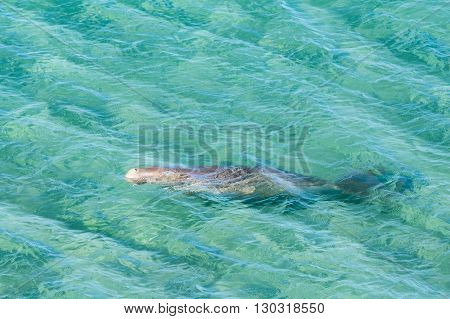 Australia Dugong While Swimming On Sea Surface