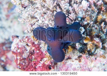 cyrce volvatella nudibranch underwater close up macro
