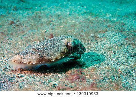 Squid Cuttlefish Underwater On Black Lava Sand