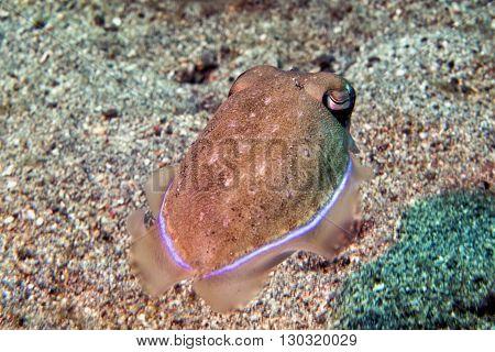 Squid Cuttlefish Underwater On Black Lava Sand Much Dive