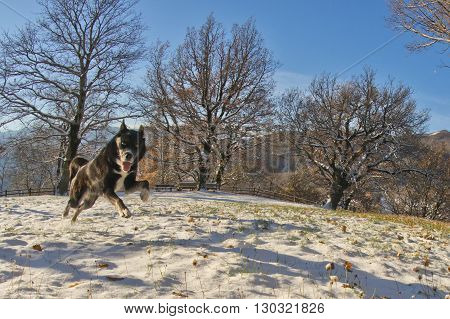 A Black Dog Like A Wolf In The Snow Jumping And Looking At You