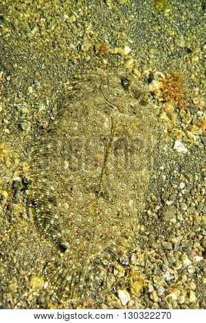 A Flat Fish Eyes Detail While Hiding In The Sand  In Indonesia