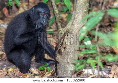Crested Black Macaque Monkey In The Forest