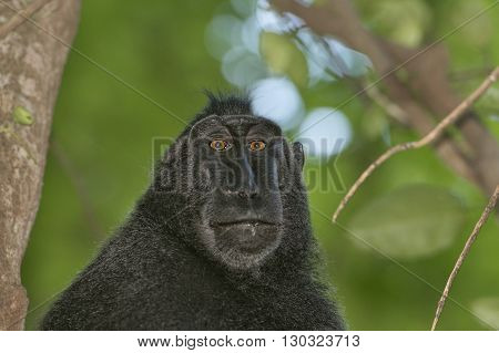 Celebes Sulawesi crested black macaque portrait close up