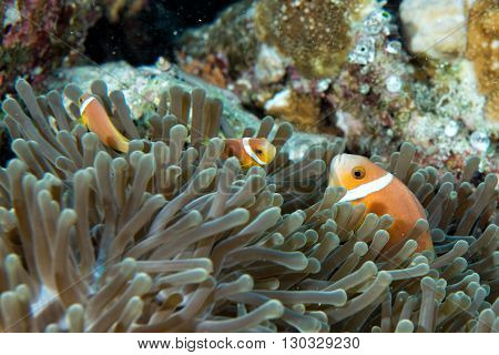 Clown Fish Inside Green Anemone On Reef Background