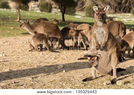 Kangaroo Mother And Son Portrait