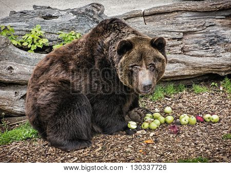 Brown bear - Ursus arctos arctos - posing and eating green apples. Animal theme. Teddy bear. Humorous scene. Beaty in nature.