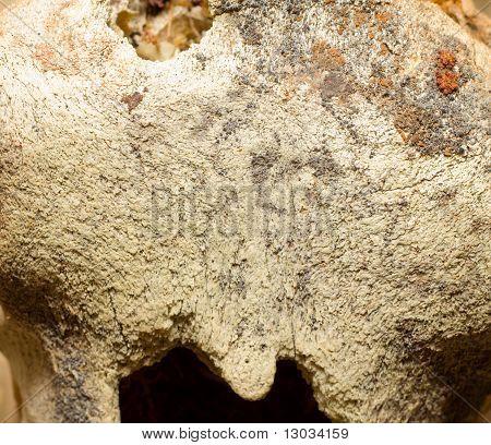 Macro Of polar bear  Bone