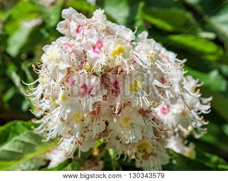 Horse-chestnut flowers and leaves. Detailed natural scene. Beauty in nature. Petals and pistils.