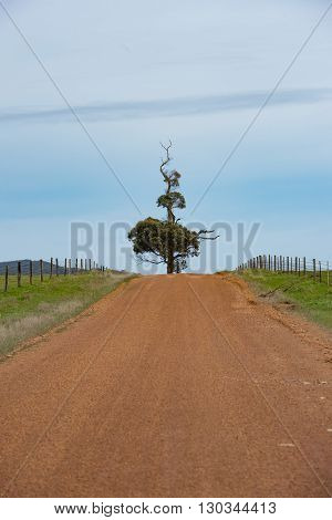 Lonely Tree On Red Road In Eucalyptus Forest