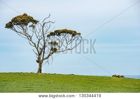 australia tree in green background detail close view