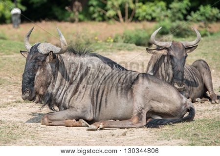 African Gnu While Resting On Grass