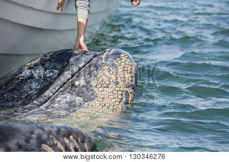 Grey Whale Approaching A Boat