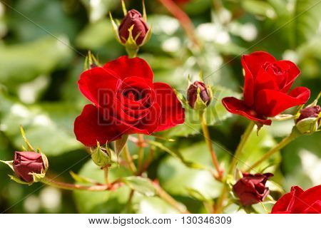 Beautiful flower red rose and rose buds in flower garden