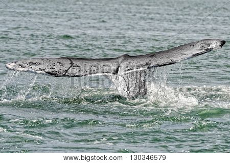 Grey Whale Tail Going Down In Pacific Ocean