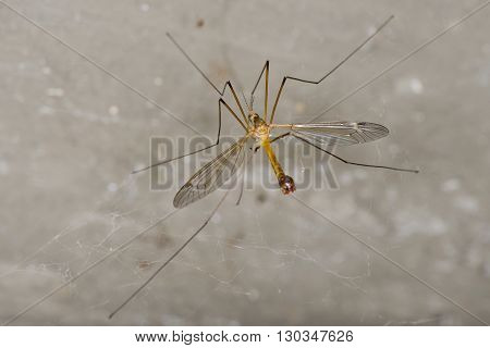 Isolated Giant mosquito fly on white background