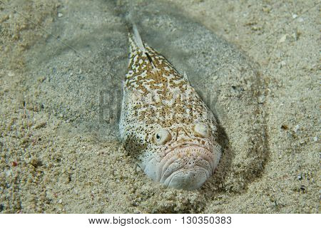 Stargazer Priest Scorpion Fish
