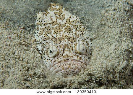 Stargazer Priest Fish Portrait
