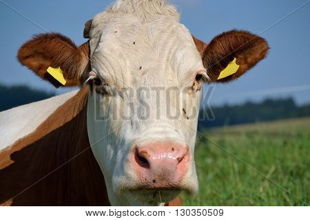 Cattle on meadow - closeup and Portrait