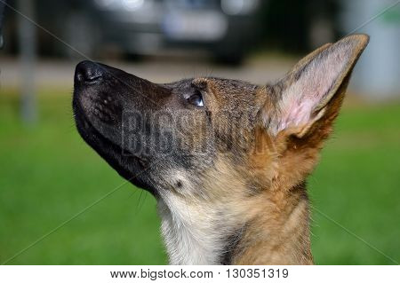 Portrait of a guileless-looking German Shepherd Dog