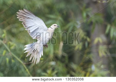 Turtle Dove Bird