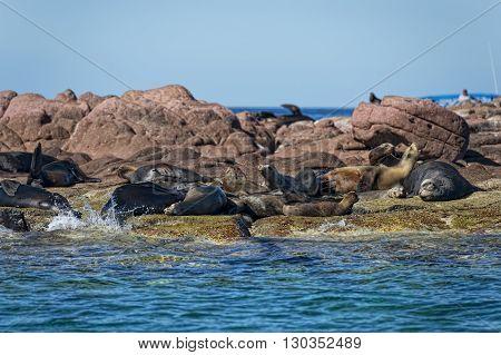 Seal Sea Lion In Baja California