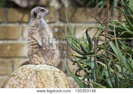 Meerkat Looking At You