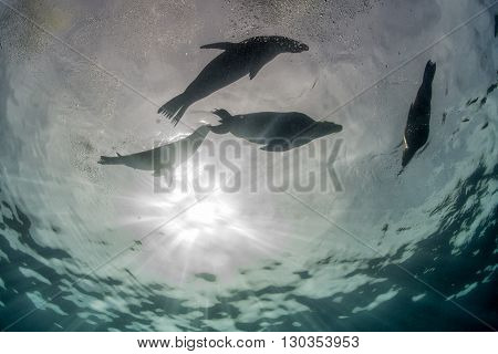 Photographer Diver Approaching Sea Lion Family Underwater