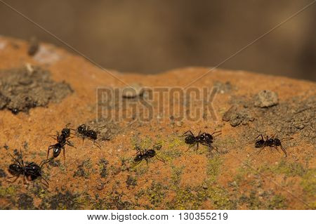 Black Ants Running On Soil Orange Background