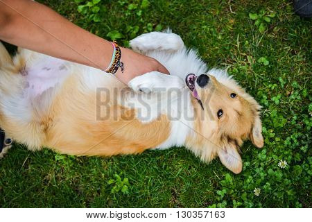 Young dog playing with his owner. Hand tickles fur.