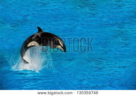 Orca Killer Whale While Jumping