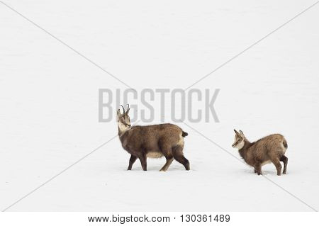 Father And Son Chamois Deer In The Snow Background