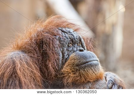 Old Orang Utan Monkey Portrait While Looking At You