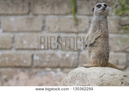 Isolated Meerkat Looking At You