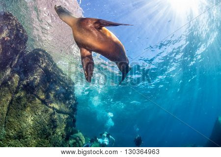 Female Californian Sea Lion Portrait