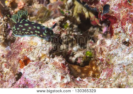 A Green And Black Nembrotha Nudibranch