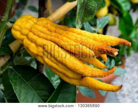Buddhas hand lovely fresh citron citrus fruit