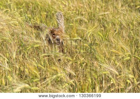 Dog Running In The Weath Field