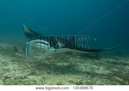 An Isolated Manta In The Blue Background