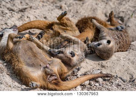 African Meerkats Portrait While Fighting