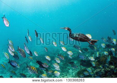 Cormorant While Fishing Underwater In Bait Ball