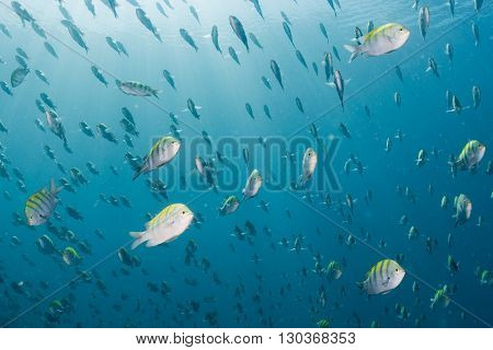 Sergeant Fish Bait Ball Underwater