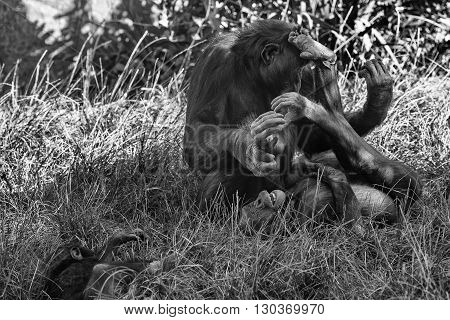 Bonobo Family Portrait In Black And White